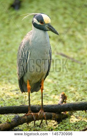 Yellow-crowned Night-heron In A Swamp