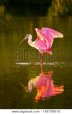 Roseate spoonbill (Platalea ajaja) spreading wings, reflected in water
