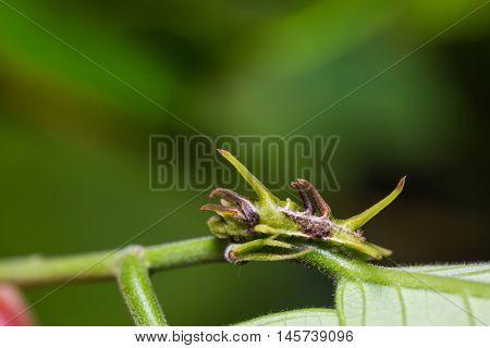 Common Onyx Caterpillar