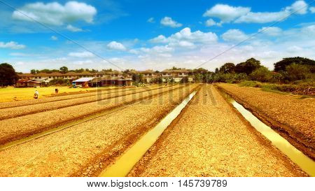 Agricultural fertilizers organic vegetable garden or planting lettuce landscape have a nice sky and cloud with a ditches around and font of hut and village.