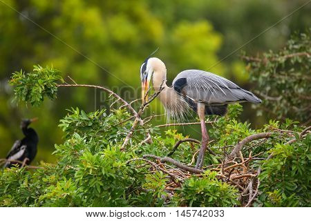 Great Blue Heron With Nesting Material In Its Beak. It Is The Largest North American Heron.