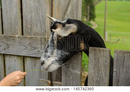 Goat holding head on the wooden fence - Animal Welfare