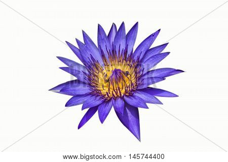 Blooming purple lotus flower or Purple water lilly