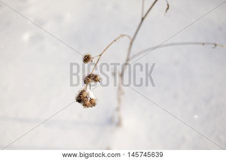 Winter Dry Burr