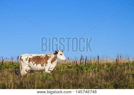 Summer landscape in the Carpathians with cow grazing on fresh green mountain pastures