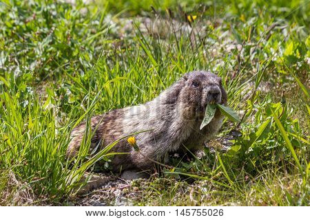 Hoary marmot eating near Whistler British Columbia Canada
