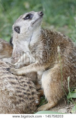 A small mongoose meerkat close to her brothers