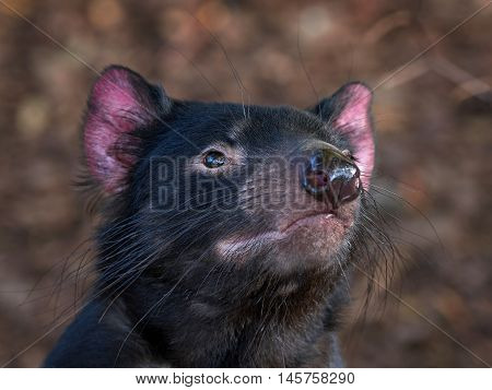 Closeup portrait of the Tasmanian devil (Sarcophilus harrisii) with vegetaion in the background