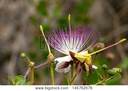 The plant is best known for the edible flower buds (capers) often used as a seasoning and the fruit (caper berries) both of which are usually consumed pickled.