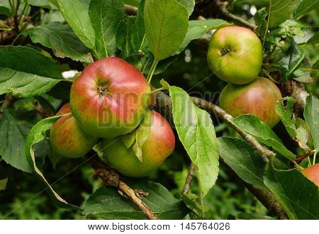 Organic apples on a tree in summer