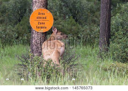 An elk fawn (Cervus canadensis) looks over its shoulder as it enters a closed area - Jasper National Park Alberta Canada