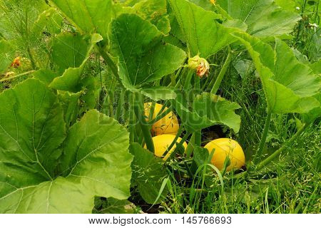 Large vegetable field with pumpkin in summer