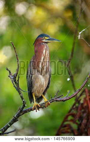 Green Heron Sitting On A Tree