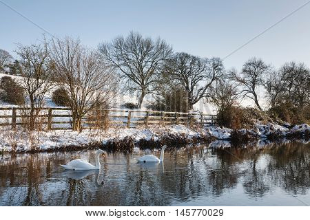 Swans on a river in winter Sarratt UK