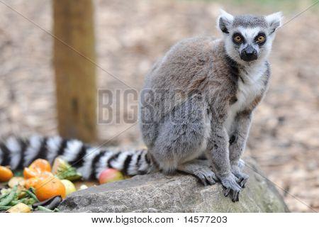 Zoo Animal Ring tailed lemurs