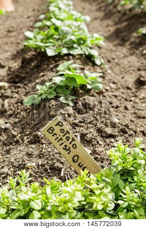 A row of potato plants growing in a kitchen garden