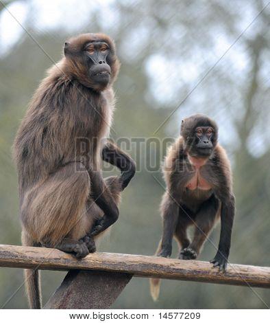 Zoo Animal Gelada baboon