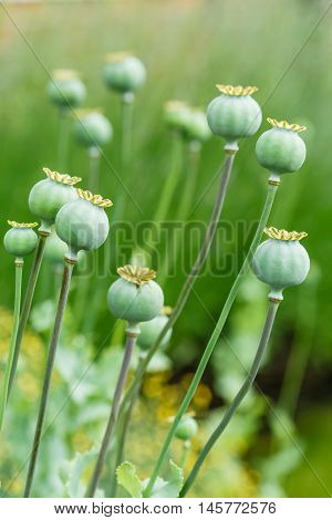 Green poppy (Papaveraceae) seed heads in a garden