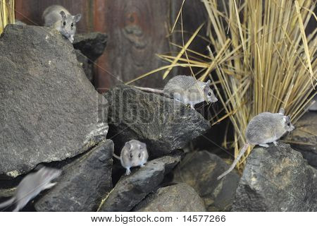Zoo Animal Spiney mice