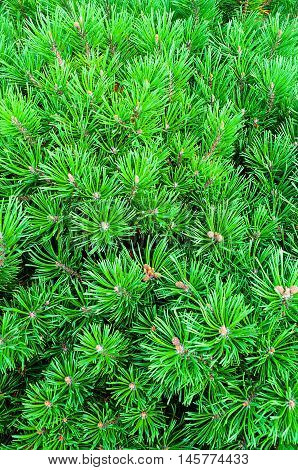 Bright green branches of mountain pine. Mountain Pine - natural closeup view. Bright green Dwarf Pine. Dwarf conifer pine tree - closeup view.