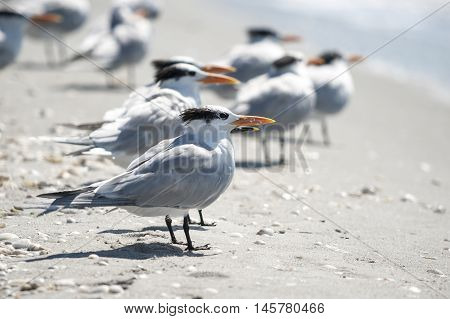 Royal Terns strung out along Florida beach
