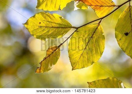 Yellow Autum Leaves Of Beech