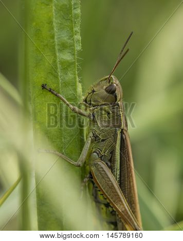 Green grasshopper on grass in summer sunny day