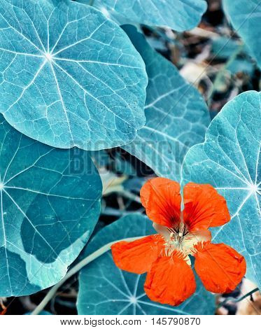 colorful bright nasturtium flowers on a background summer landscape