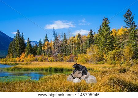 Concept of ecological tourism. The huge black bear has a rest on stones at the lake. Indian summer in the Rocky Mountains of Canada
