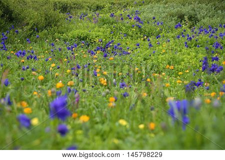 Alpine flowers in Altai Mountains, Siberia, Russian Federation