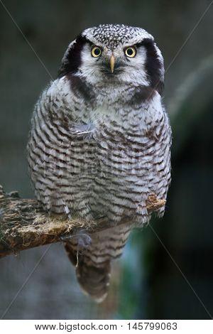 Northern hawk-owl (Surnia ulula). Wildlife bird.