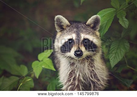 A mama raccoon that comes around looking to be fed every night.