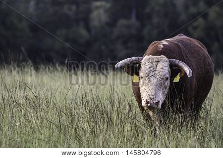 Horned Hereford bull in a field of tall grass with blank area to the left