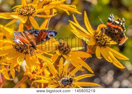 red admiral and small tortoiseshell on leopardplant