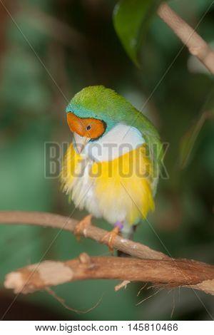 portrait of a tropical bird on a branch (Erythrura gouldiae)