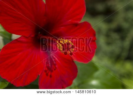 A Beautiful hibiscus flower on nature background