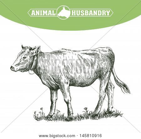 sketch of calf drawn by hand on a white background. livestock. cattle. animal grazing