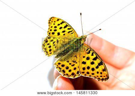 One Tamed Butterfly On Female Finger