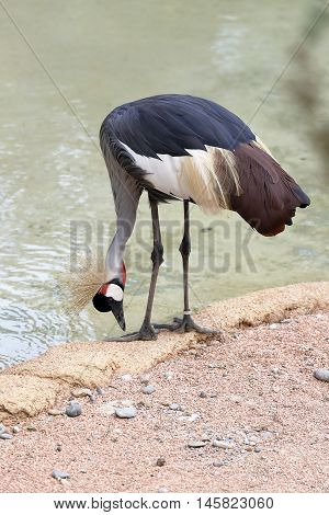 a crowned cranes drinking near the pond