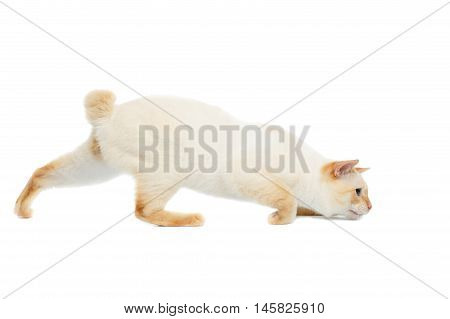 Funny Breed Mekong Bobtail Cat Blue eyed, sneaks, Looking up Isolated White Background, Color-point Fur