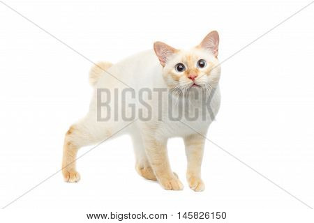 Funny Breed Mekong Bobtail Cat Blue eyed, Standing and Staring in Camera Isolated White Background, Color-point Fur