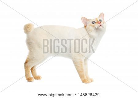 Funny Breed Mekong Bobtail Cat Blue eyed, Standing and Looking up, Isolated White Background, Color-point Fur, without tail, Side view