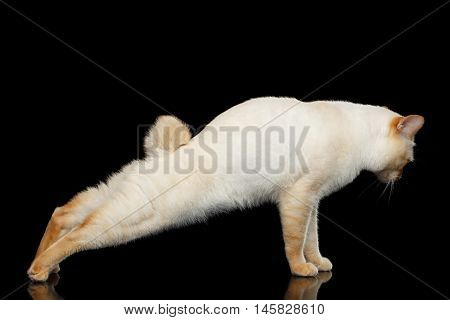 Adorable Breed Mekong Bobtail Cat, stretched after sleep, Isolated Black Background, Color-point Fur, Side view