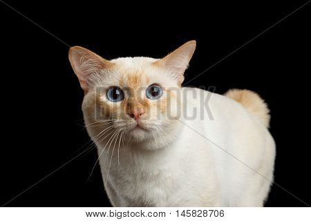 Close-up Curious Breed Mekong Bobtail Cat Blue eyed, Staring Isolated Black Background, Color-point Fur