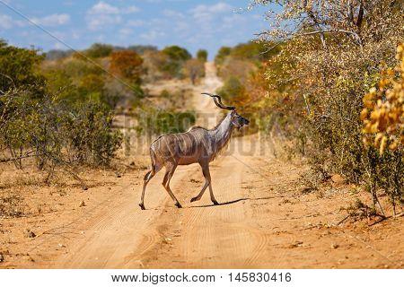 Beautiful male kudu antelope in safari park in South Africa