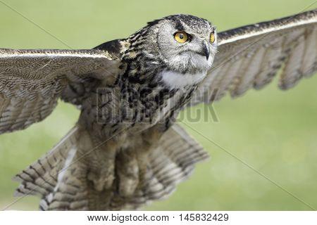Eurasian eagle owl (bubo bubo), also known as European Eagle owl, ascending to flight.