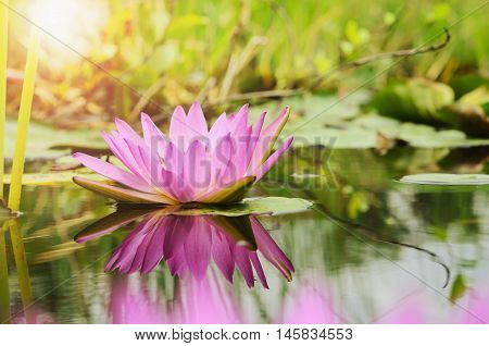 lotus flower background and sunshine in pond