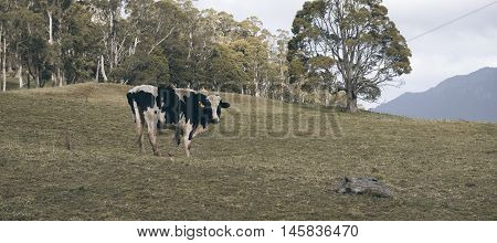 Holstein Fresian Cow