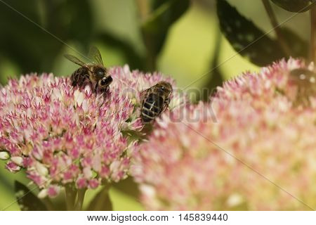 Bee on a flower of the Sedum (Stonecrop) in blossom. Macro of honey bee (Apis) feeding on pink (rose) flower. two beies and autumn flower