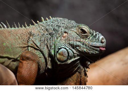 Green iguana (Iguana iguana). Wildlife animal.